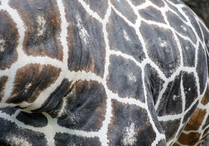 Slut upp av girafffläckar arkivfoton