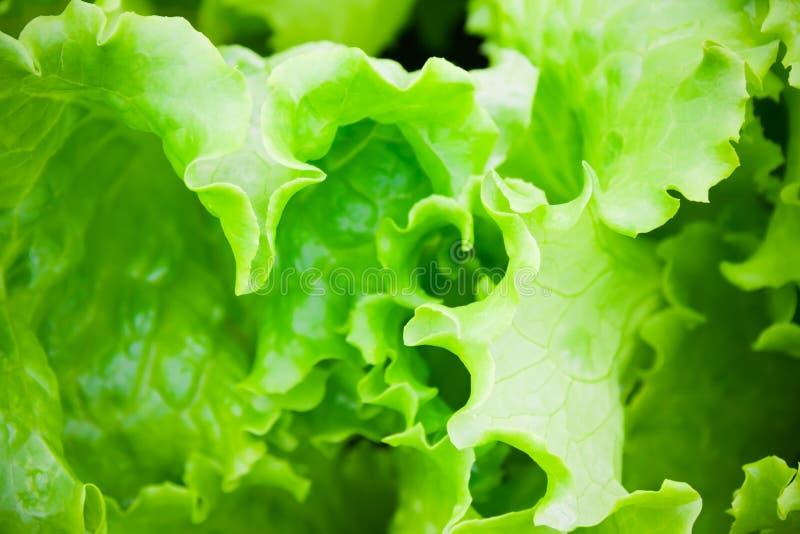 Slut upp av grön sallad sund livsstil för begrepp Selektivt fokusera royaltyfri fotografi