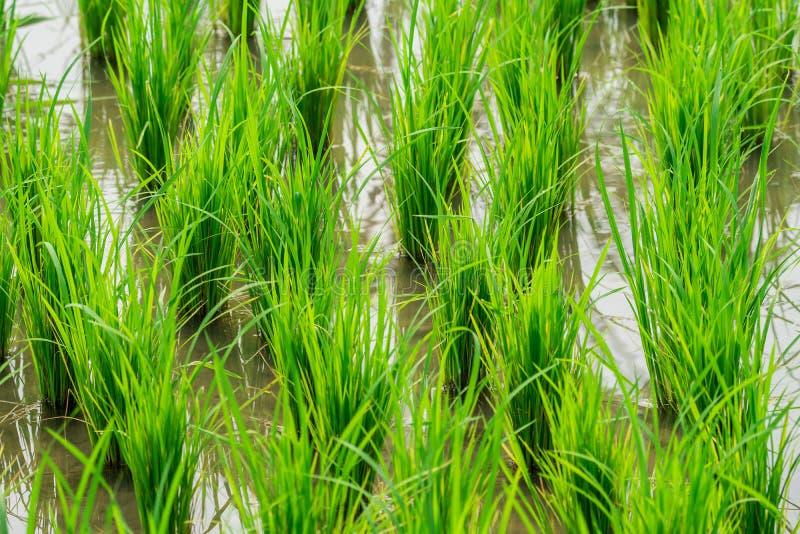Slut upp av gröna forsar av ris arkivfoton
