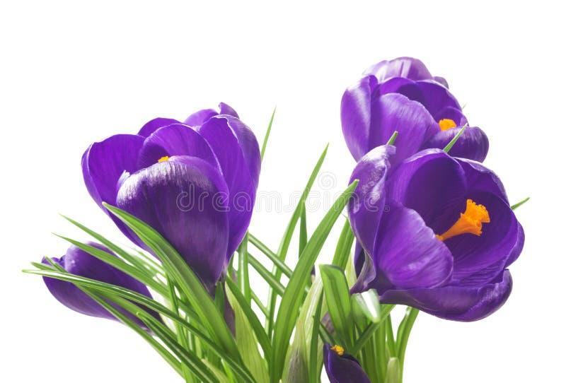 slut upp av härlig krokus på vit bakgrund - den nya våren blommar Violett krokus blommar buketten royaltyfria bilder