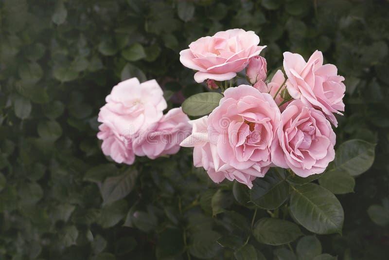 Slut upp av härliga rosor royaltyfria foton