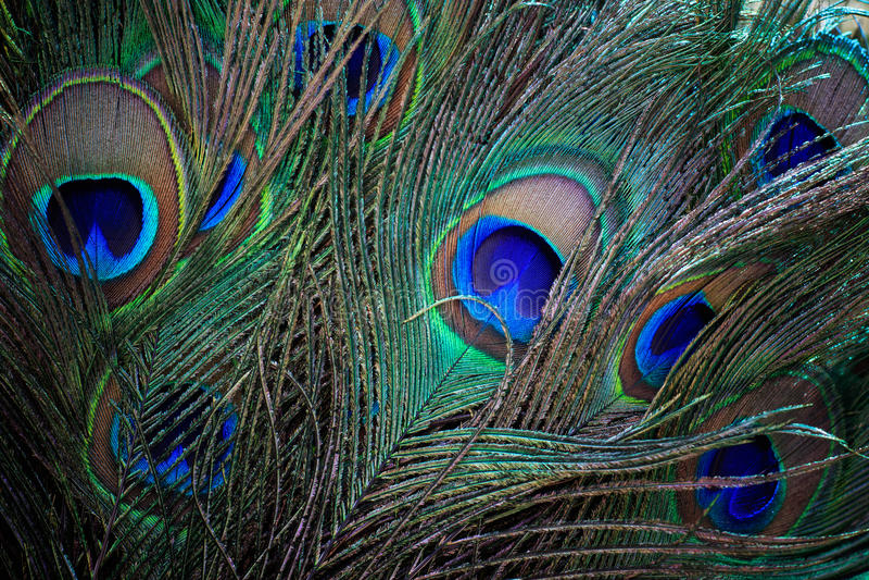 Slut upp av härligt av den indiska påfågelfansvansen arkivfoton