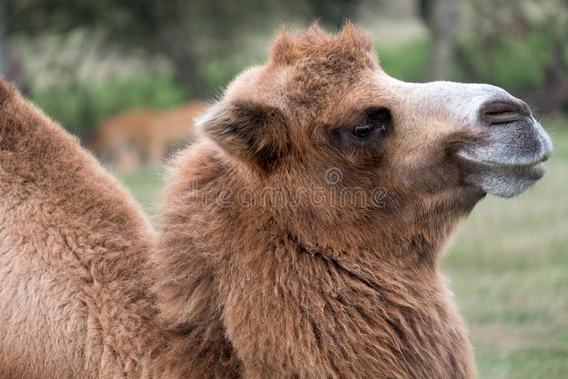 Slut upp av huvudet av en två ha sex med brun päls- bactrian kamel som fotograferas på port Lympne Safari Park i Kent, UK arkivbild