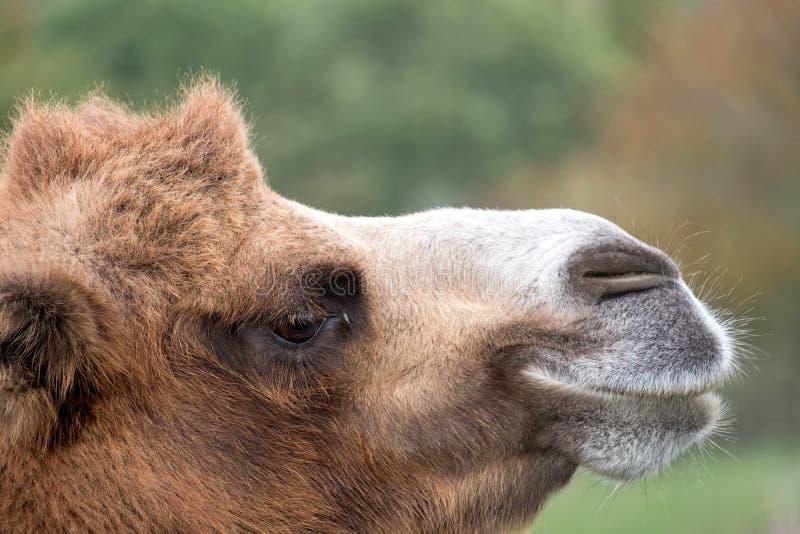 Slut upp av huvudet av en två ha sex med brun päls- bactrian kamel som fotograferas på port Lympne Safari Park i Kent, UK royaltyfria foton