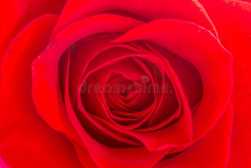 Slut upp av inom av den röda rosen arkivfoto