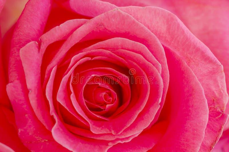 Slut upp av inom av rosa färgrosen royaltyfria foton