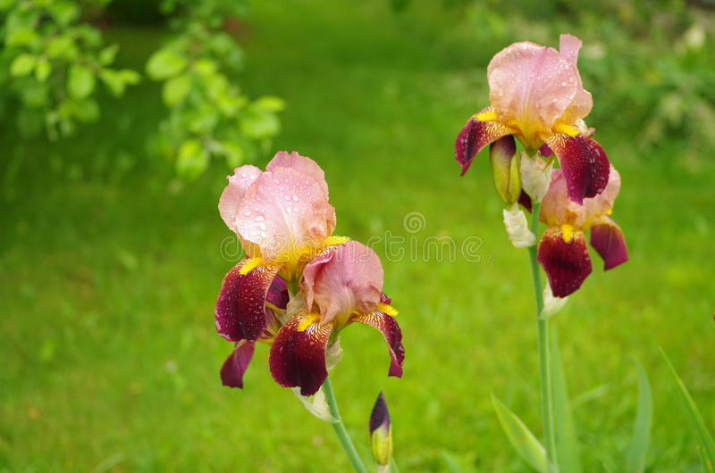 Slut upp av irisblomman på en grön bakgrund royaltyfri bild