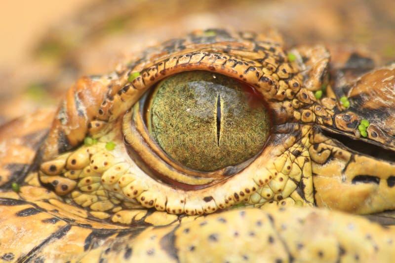 Slut upp av krokodilögat arkivbild