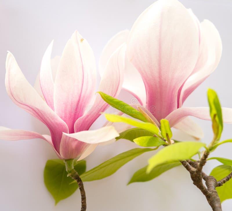 Slut upp av magnoliablommor royaltyfri fotografi