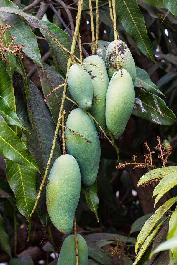 Download Slut upp av mango. fotografering för bildbyråer. Bild av lantgård - 37347305