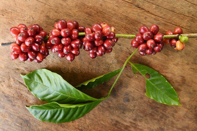 Slut upp av nya kaffebönor royaltyfria bilder