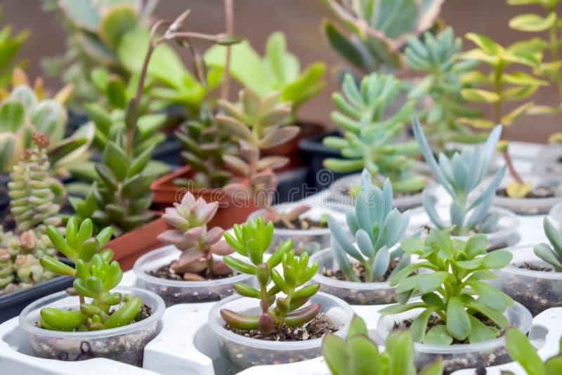 Slut upp av olika varietal agavesuckulentväxter i krukor, s arkivbilder