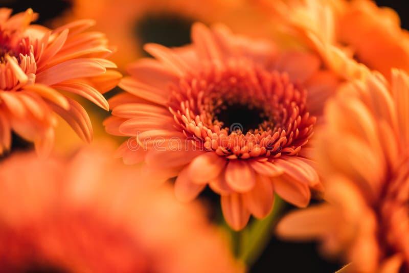 slut upp av orange blommande gerbers, royaltyfri bild