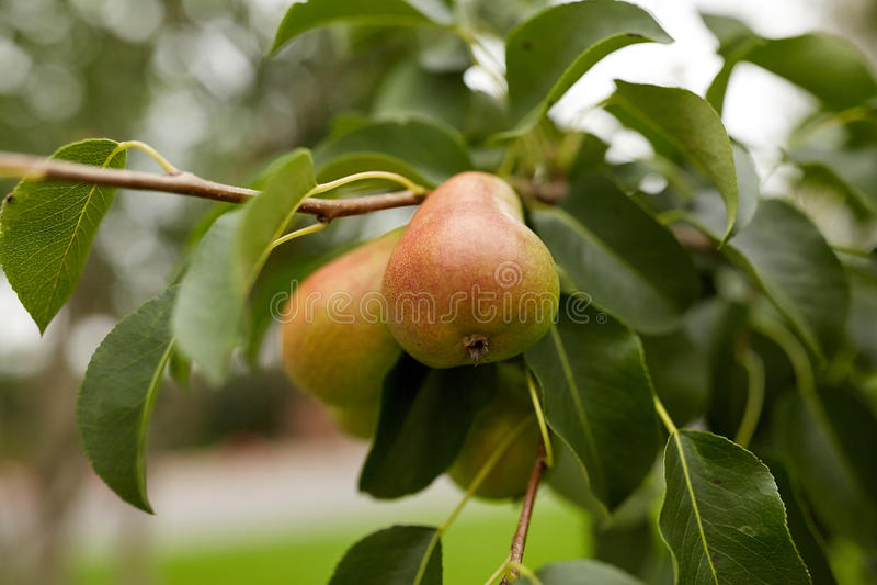 Slut upp av päronträdfilialen arkivfoto