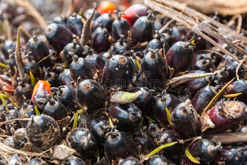 Slut upp av Palm olje- frukter arkivfoton