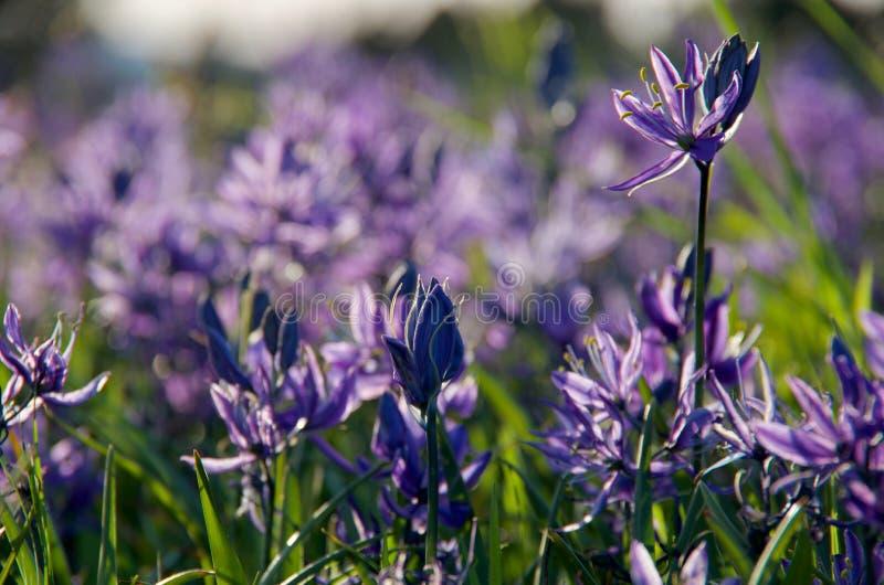 Slut upp av purple-blåttcamas liljor i aftonvårljuset royaltyfri bild