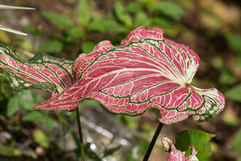 Slut upp av röd vit för blandninggräsplanblandning av caladiumen arkivfoton