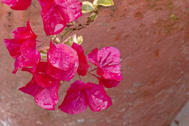 Slut upp av regn dolda Cerise Bougainvillea Flowers royaltyfria bilder