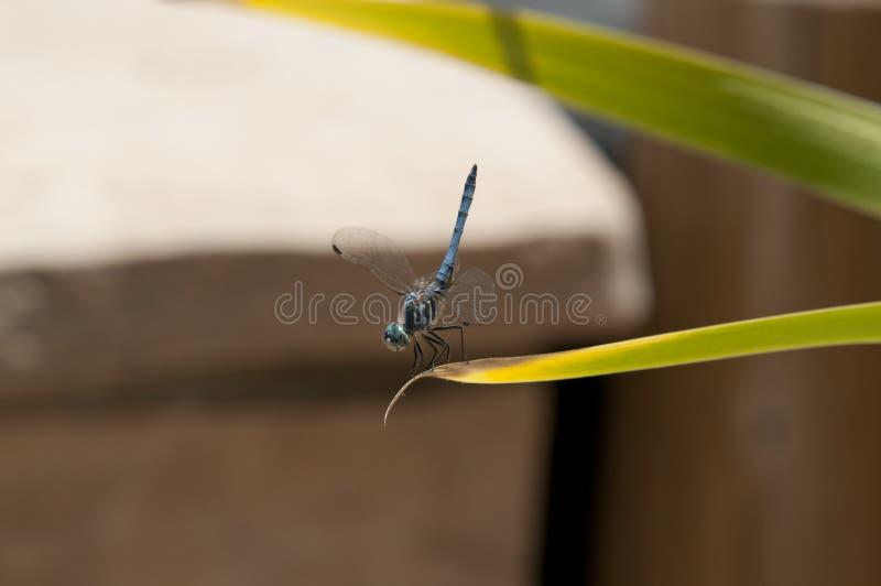 Slut upp av sländan för manblåttDasher skumslev på ett blad royaltyfri foto