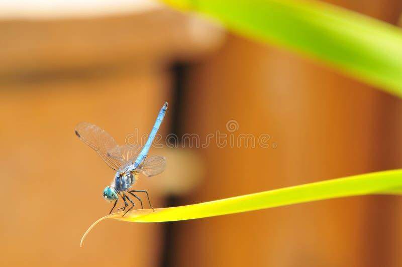 Slut upp av sländan för manblåttDasher skumslev på ett blad royaltyfria foton