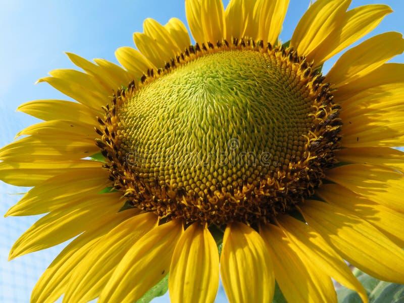 Slut upp av solblomman från sikt för låg vinkel arkivfoto