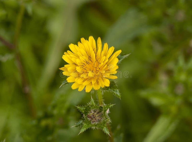 Slut upp bästa sikt av kronblad för huvud för blomma för öppningsgulingmaskros arkivfoto