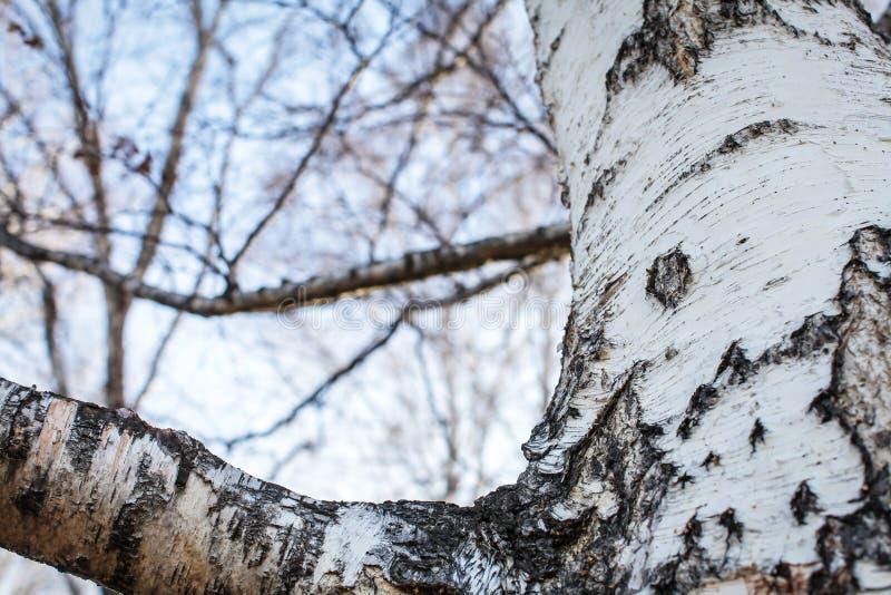 Slut upp bakgrund för textur för björkskäll naturlig textur för trä för björkträd med gamla sprickor Modell av björkskället arkivfoton