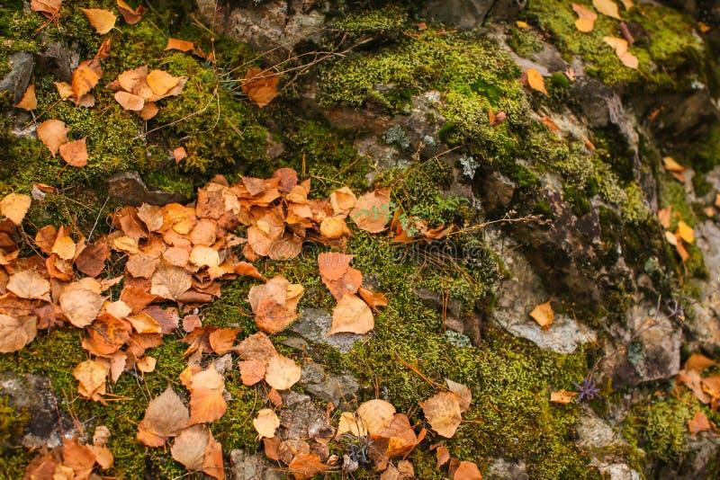 Slut upp beautyful mossa i gamla gråa stenar för höstskog med grön mossa och orange stupad sidatexturbakgrund arkivfoto