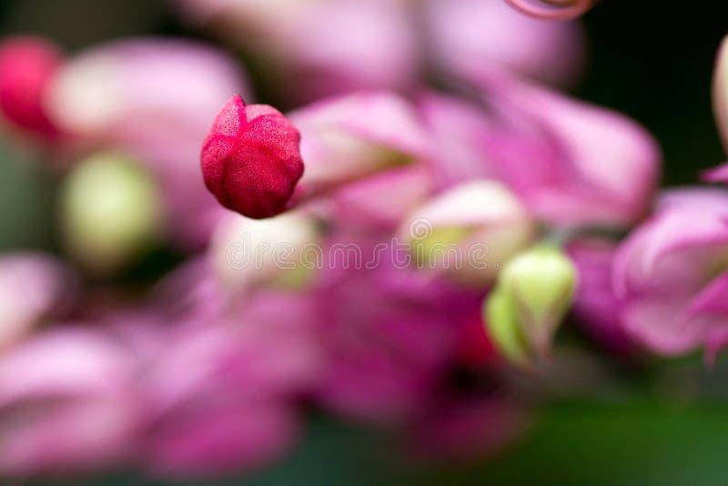 Slut upp berså för blomma för blödande hjärta flammande royaltyfri bild