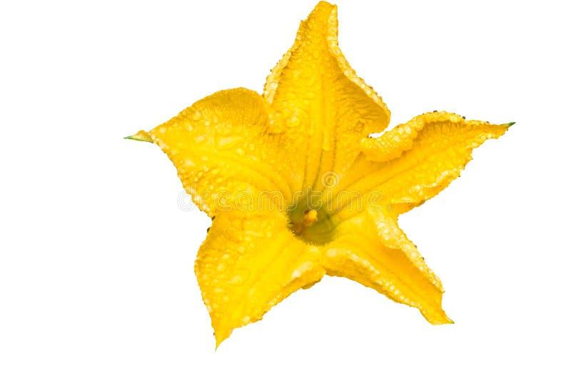 Slut upp blomman för guling för luffasvampluffasvampkalebass och regnig droppe på vit bakgrund royaltyfri foto