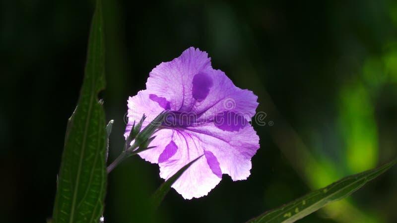 Slut upp blomman för Ruellia brittonianalilor arkivbild