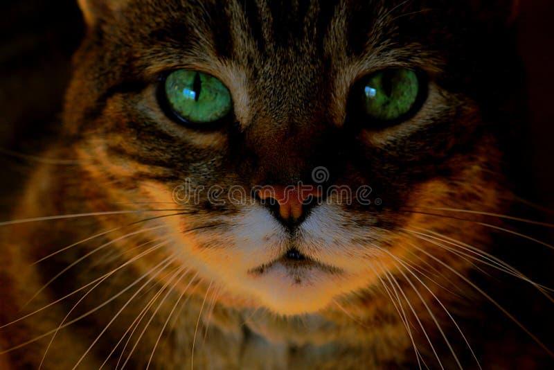 Slut upp Cat Face Green Eyes arkivbild