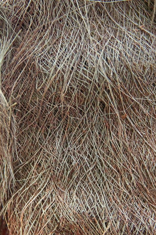 Slut upp den Chusan palmträdet, med den håriga skällstammen, frodig under-tropisk känsel för bakgrund fotografering för bildbyråer
