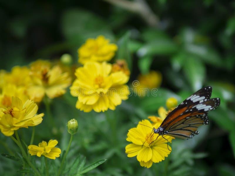 Slut upp den gula blomman för härlig orange för Tiger Danaus för fjäril gemensam pollination genutia med grön trädgårdbakgrund royaltyfria foton