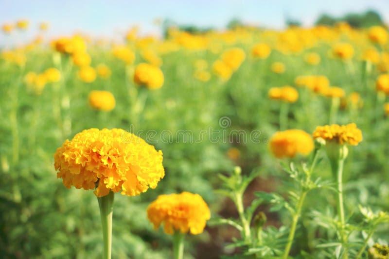 Slut upp den gula ringblommablomman på suddighet många ny blick för bakgrund för blommafält arkivbilder