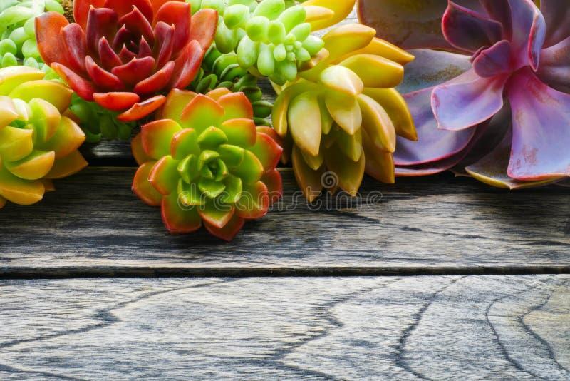 Slut upp den gulliga färgrika suckulenta växten med kopieringsutrymme för text på trätabellbakgrund arkivbilder