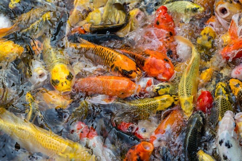 Slut upp den härliga guld- utsmyckade fisken som simmar i dammet arkivfoton