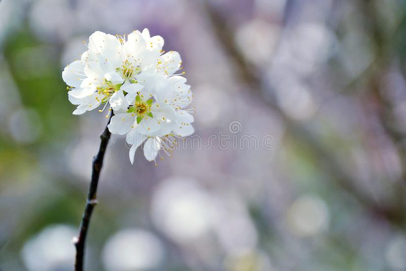 Slut upp den härliga lösa Himalayan körsbärsröda blomningen arkivfoton