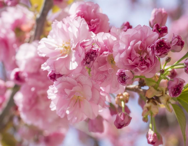 Slut upp den h?rliga perfekta blommande rosa sakura k?rsb?rsr?da blomningen eller japansk k?rsb?rsr?d filial f?r tr?d f?r Prunuss arkivbilder