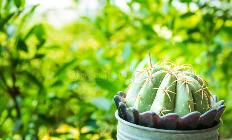 Slut upp den lilla kaktuns med den lilla metallblåttblomkrukan och härlig solljusbakgrund i trädgården royaltyfri foto
