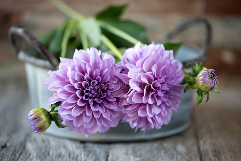 Slut upp den purpurfärgade dahliablomman på suddighetsbakgrund royaltyfri foto