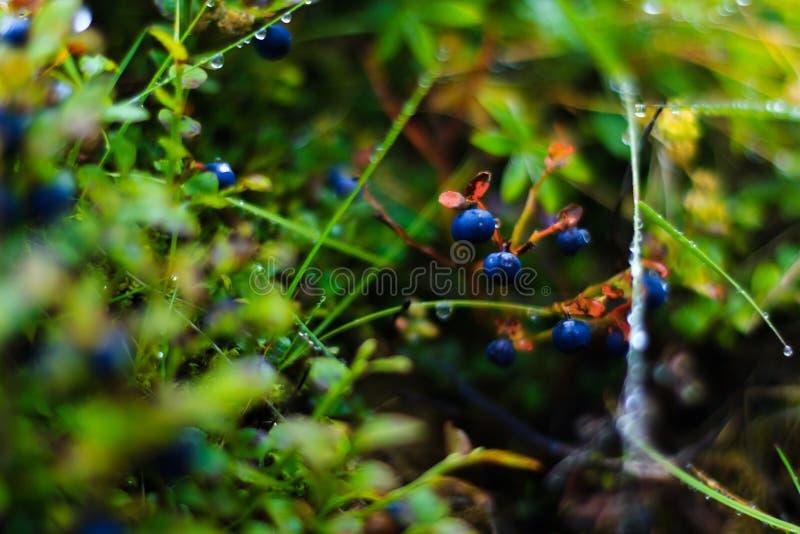 Slut upp den säsongsbetonade blåbärbusken fotografering för bildbyråer