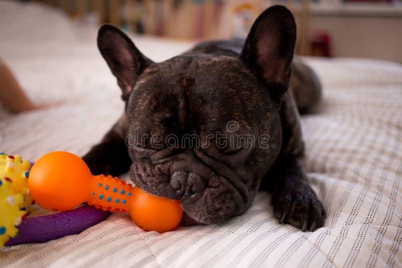 slut upp den strimmiga franska bulldoggen som spelar med hans leksaker på sängen royaltyfri foto