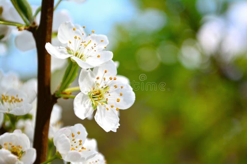 Slut upp den vita plommonblomman som blommar i trädgård royaltyfri foto