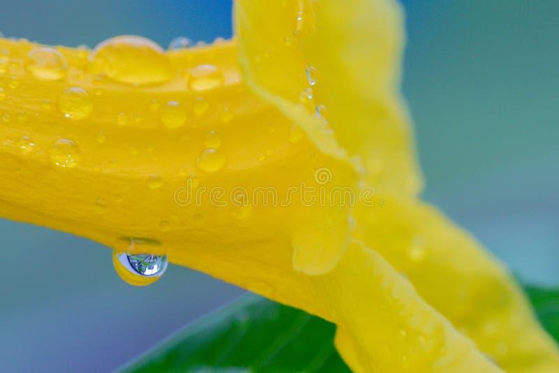 Slut upp för för fläderblomma och regn för selektiv fokus härliga gula droppar i trädgården Kallade också gula Ttrumpetbush, gula royaltyfria foton