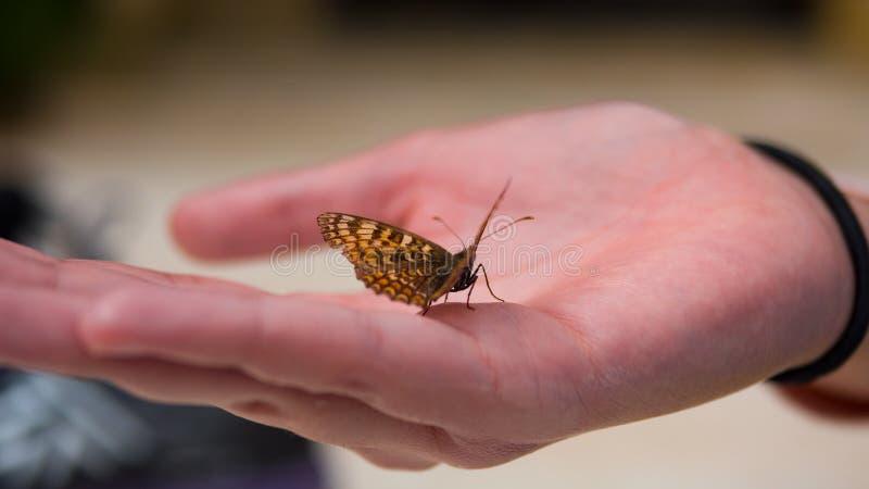 Slut upp fjäril på kvinnahanden arkivbild