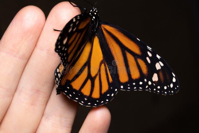 Slut upp fjäril på kvinnahanden Skönhet av naturen arkivbild