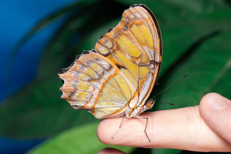 Slut upp fjäril på kvinnahanden Skönhet av naturen royaltyfri bild