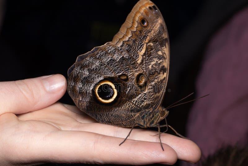 Slut upp fjäril på kvinnahanden Skönhet av naturen arkivfoto