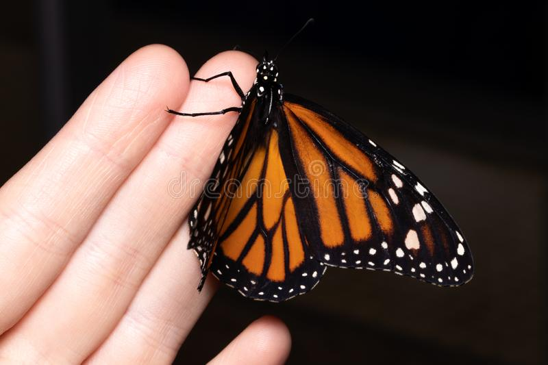 Slut upp fjäril på kvinnahanden Skönhet av naturen arkivbilder